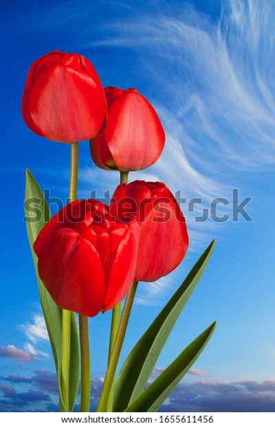Red tulips on the blue sky