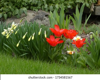 Red tulips on the flower bed