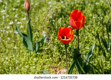Red tulips on flowerbed in the garden