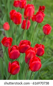 Red tulips on a flowerbed. Spring concept