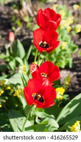 red tulips on the meadow