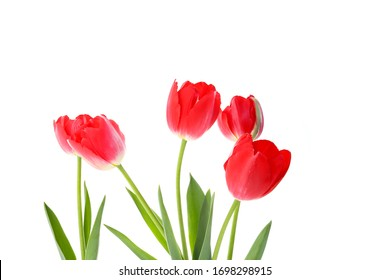 red tulips on a white background. seasonal floral concept