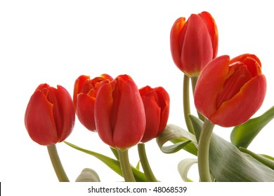 red tulips on a white background isolated