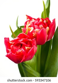 Red tulips on the white background
