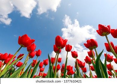 red tulips over blue sky outdoors