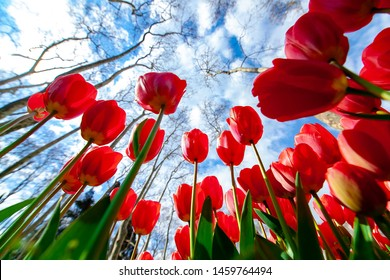 Red tulips overlooking the cloudy sky