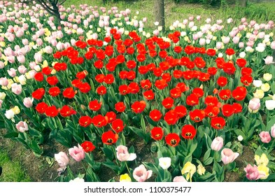 Red tulips in the park