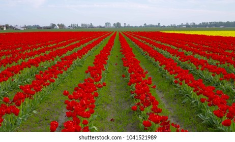 Red tulips in the park. Spring landscape. Skagit Valley Tulip