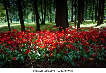 red tulips planted in an old Park on a background of forest