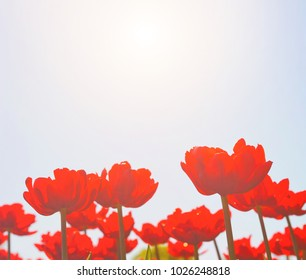 Red tulips at sunny day