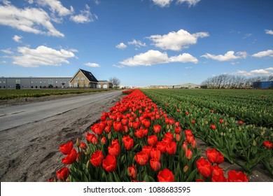 Red tulips in a tulip flowerfield forming a colorful landscape during a daytime and a blue sky