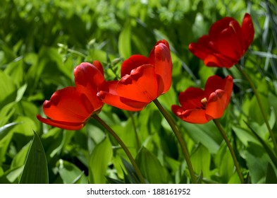 Red tulips under the sunshine