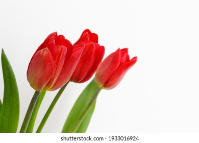 red tulips with white background