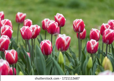 Red tulips with a white stripe in the park, detailed view.