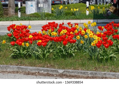 Red tulips and yellow daffodils or narcissi, spring flowers on a traffic island in Ahrensburg, Schleswig-Holstein, Germany
