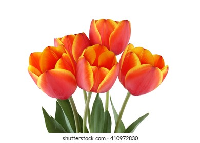 Red tulips with yellow edges of petals isolated on white background