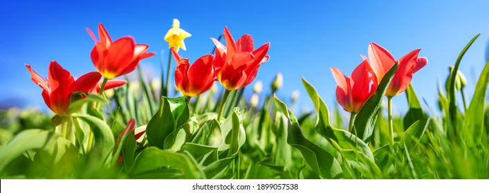 Red tulips and yellow jonquils in flowerbeds in the garden in spring. Beautiful flowers on sunny day on blue sky background