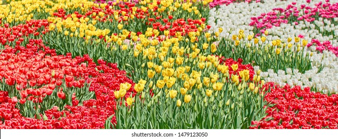 Red tulips, yellow tulips and white tulips flower blooming in spring garden.