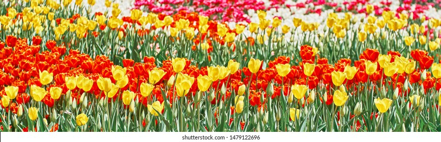 Red tulips, yellow tulips and white tulips flowers blooming in spring garden.