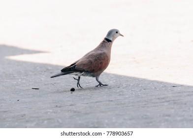 Red Turtle Dove , dove