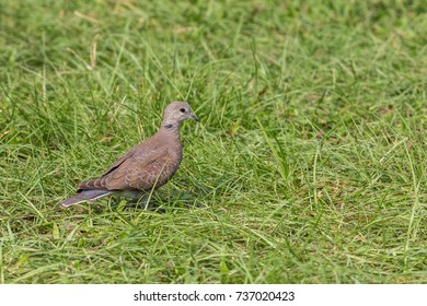 Red Turtle Dove (Streptopelia tranquebarica) search food at grassland