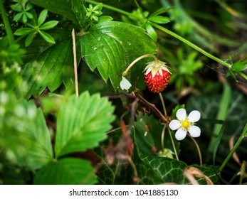 red and unripe wild strawberry on bush