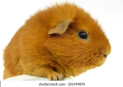 red US-Teddy guinea pig, head side view
