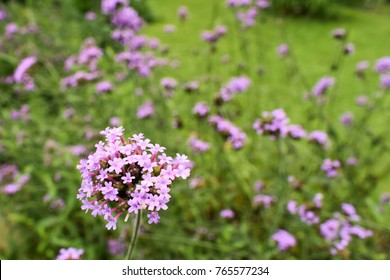 Red Valerian, Centranthus Ruber bee, Purple flowers on beautiful bokeh background in the garden.