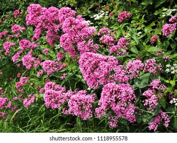 Red valerian (Centranthus ruber) flowering in a mixed verge