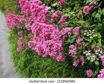 Red valerian (Centranthus ruber) flowering beside a country lane