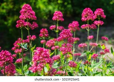 Red Valerian (Centranthus ruber) in garden
