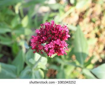 Red Valerian flowers