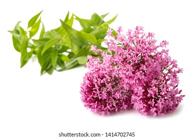 Red valerian flowers isolated on white background