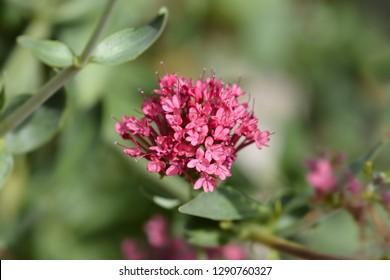 Red valerian - Latin name - Centranthus ruber