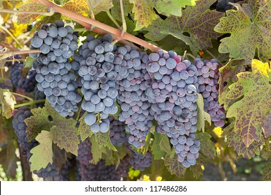 Red varietal wine grape clusters, on the vine, Autumn harvest time, California vinyards.