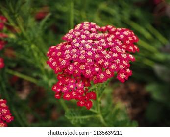 Red velvet yarrow (Achillea millefolium) flower head