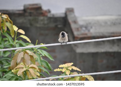 Red Vented Bulbul sitting on a wire in India. It is an urban specie