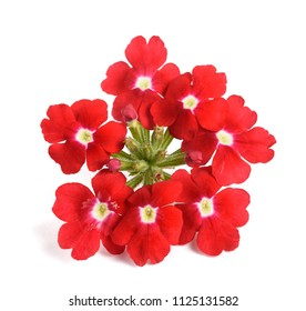Red verbena flowers isolated on white background