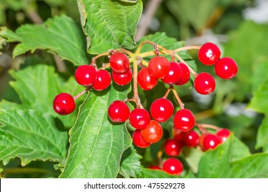 Red viburnum berries.