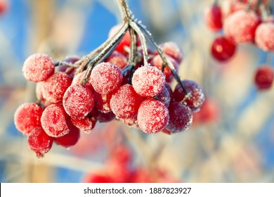 red viburnum berries are covered with frost. frosty winter day and a viburnum bush covered with snow