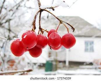 red viburnum berry on frost and old rural house on back plan