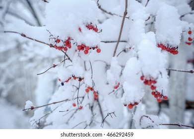 red viburnum in the snow, after a snow storm. Kalina covered with a thick layer of snow