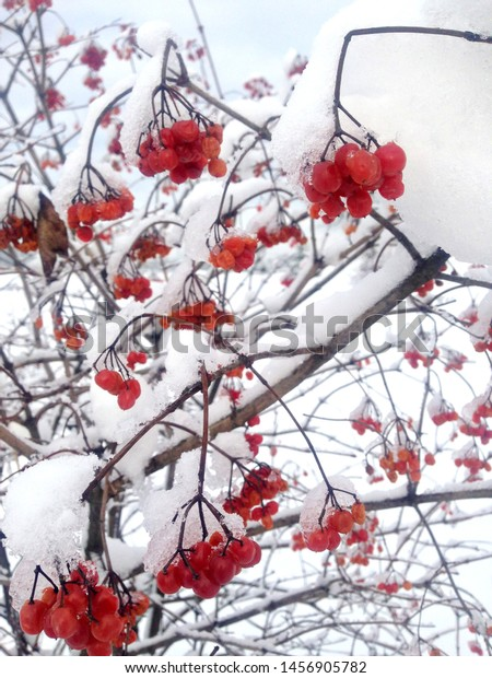 red-viburnum-tree-branches-guelder-600w-