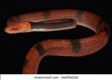 Red vine snake (Siphlophis compressus)