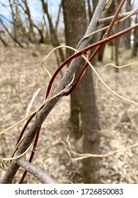Red vines twisted around a tree branch on the Littlefork River in Northern Minnesota