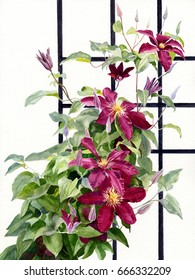 Red Violet Clematis on a Trellis.  Watercolor painting, illustration, with white background of bright colored clematis.