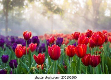 Red and violet tulips in the garden