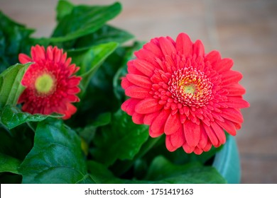 Red vivid gerbera (daisy) flower with yellow / green center