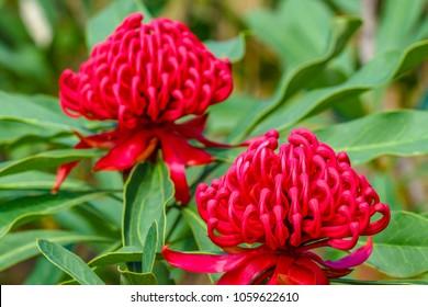 Red waratah in bloom