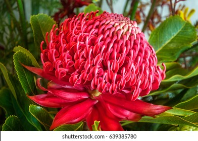 Red Waratah in a colorful display of Australian native flowers at the Waratah Festival in Blue Mountains at Mount Tomah Botanic Garden, New South Wales, Australia.